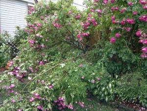 broken william baffin Rose
