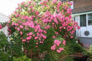 large william baffin Rose